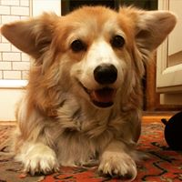 Barclay the Corgi